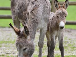 Esel-Fohlen mit Mutter | Wildpark Poing