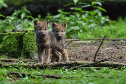 Baby Wölfe im Wildpark Poing