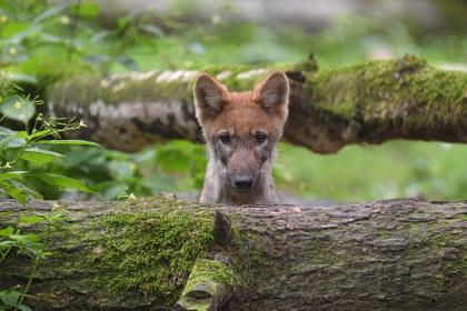 Baby Wolf im Wildpark Poing